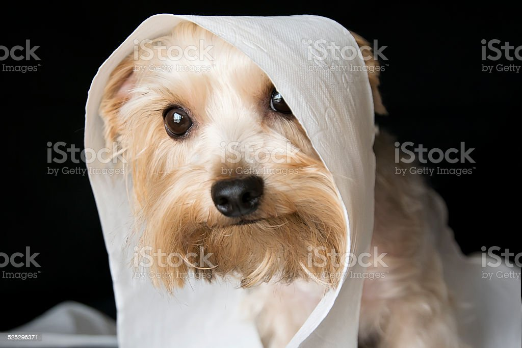 Little dog with a guilty look stock photo