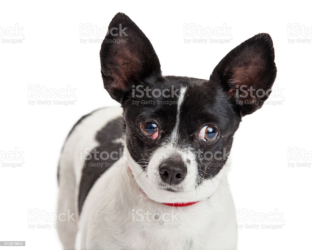 Little Dog With Cherry Eye stock photo