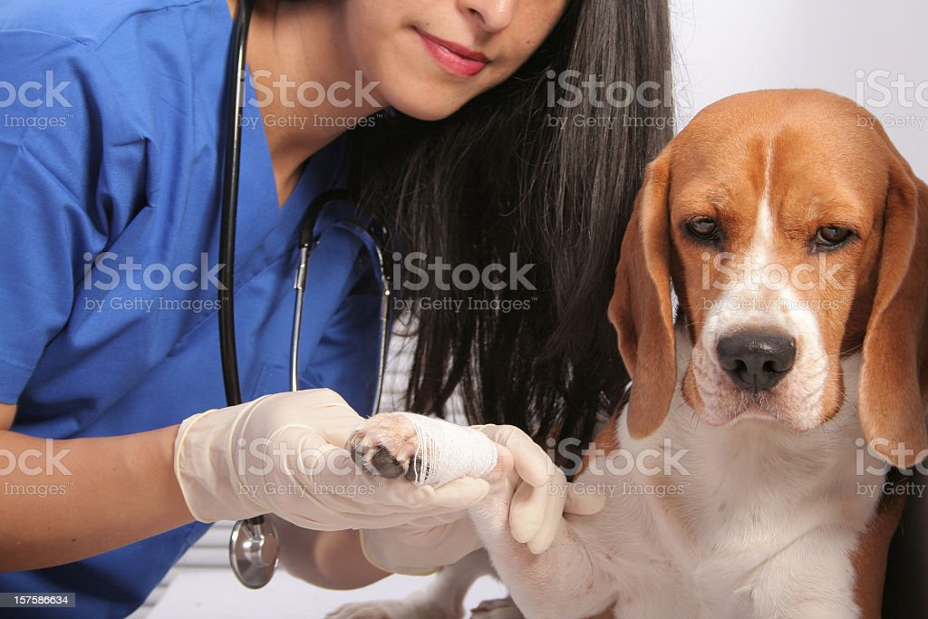 A little dog with its paw in a bandage stock photo