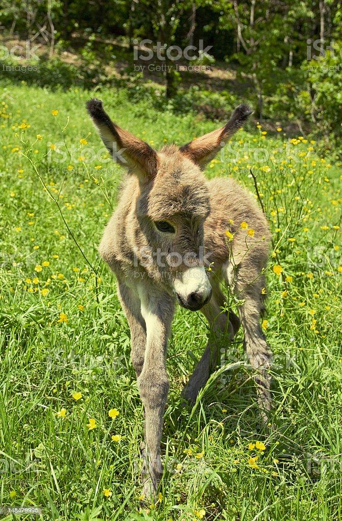 little donkey royalty-free stock photo