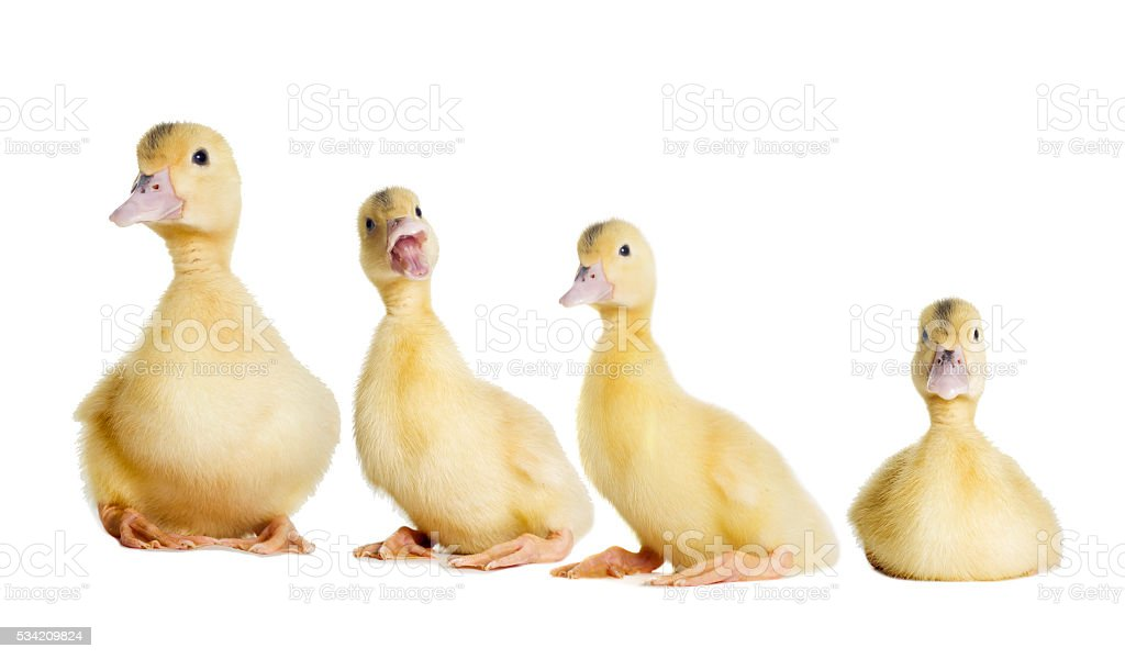 little duckling looking stock photo
