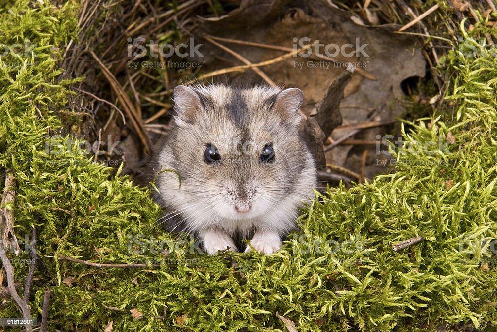 little dwarf hamster stock photo