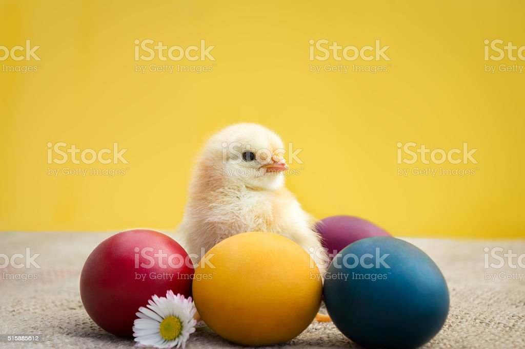 Little Easter chicken with eggs stock photo
