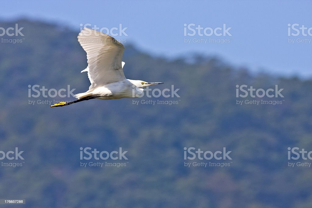 Little Egret a bird in flight royalty-free stock photo