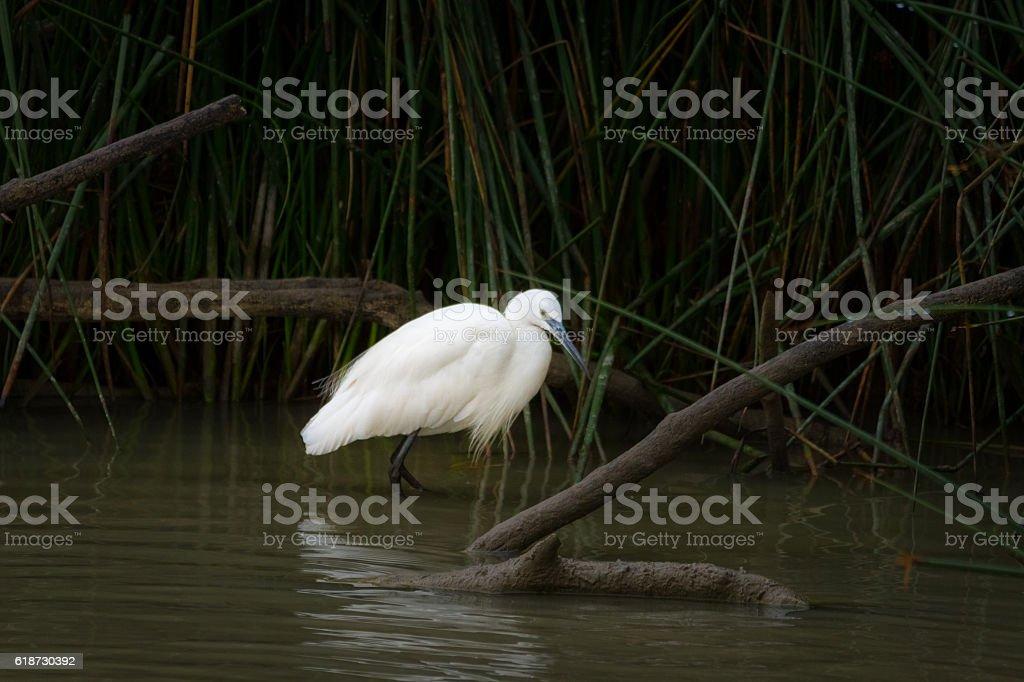 Little egret, Egretta garzetta, fishing stock photo