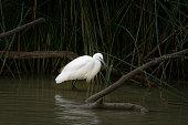Little egret, Egretta garzetta, fishing