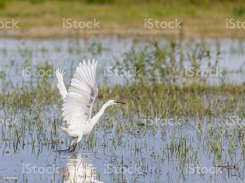 Little Egret, Egretta garzetta, taking off; Chobe River, Botswana, Africa stock photo