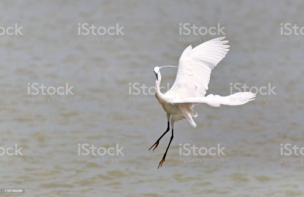 Little Egret is hunting (Egretta garzetta) royalty-free stock photo