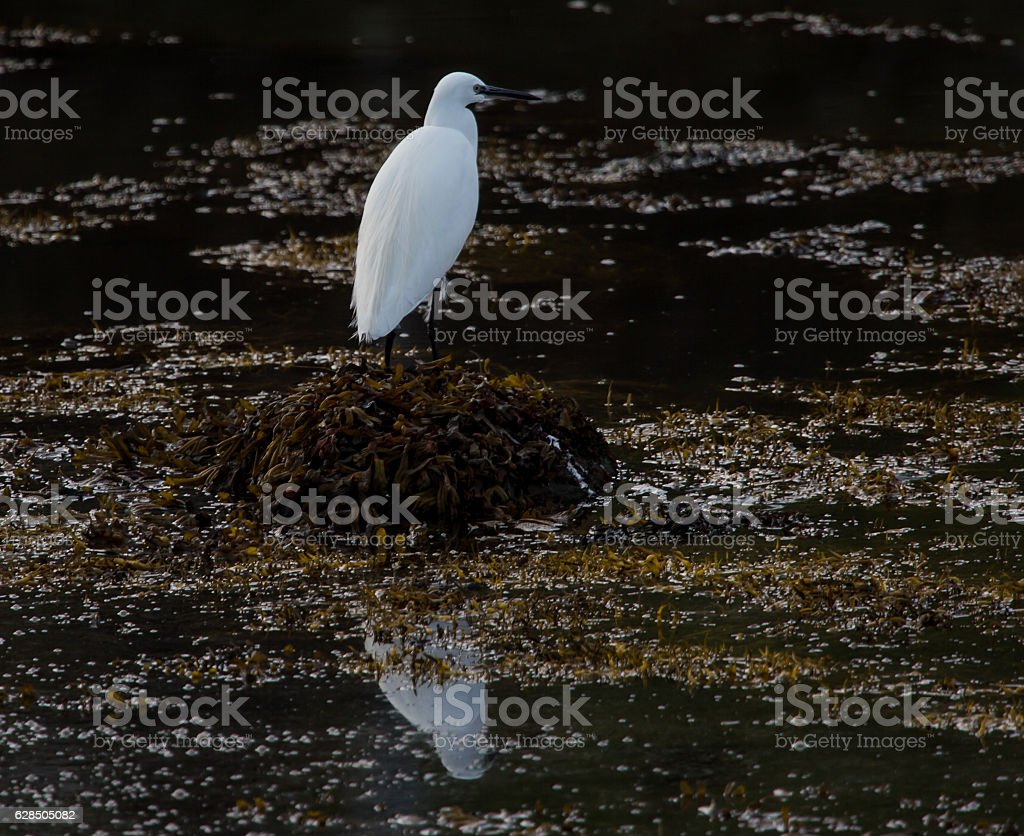 Little egret on rock at low tide stock photo