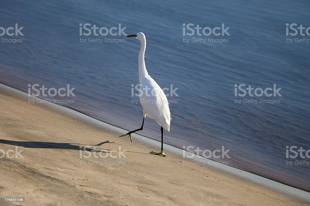 Little egret royalty-free stock photo