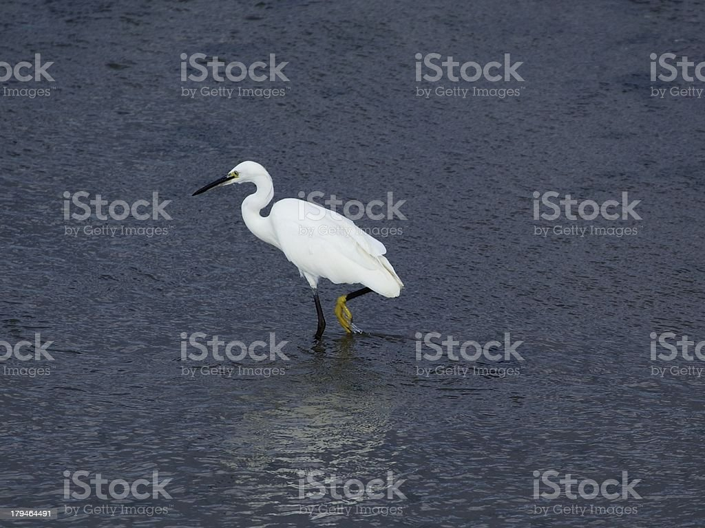 Little Egret (Egretta garzetta) royalty-free stock photo