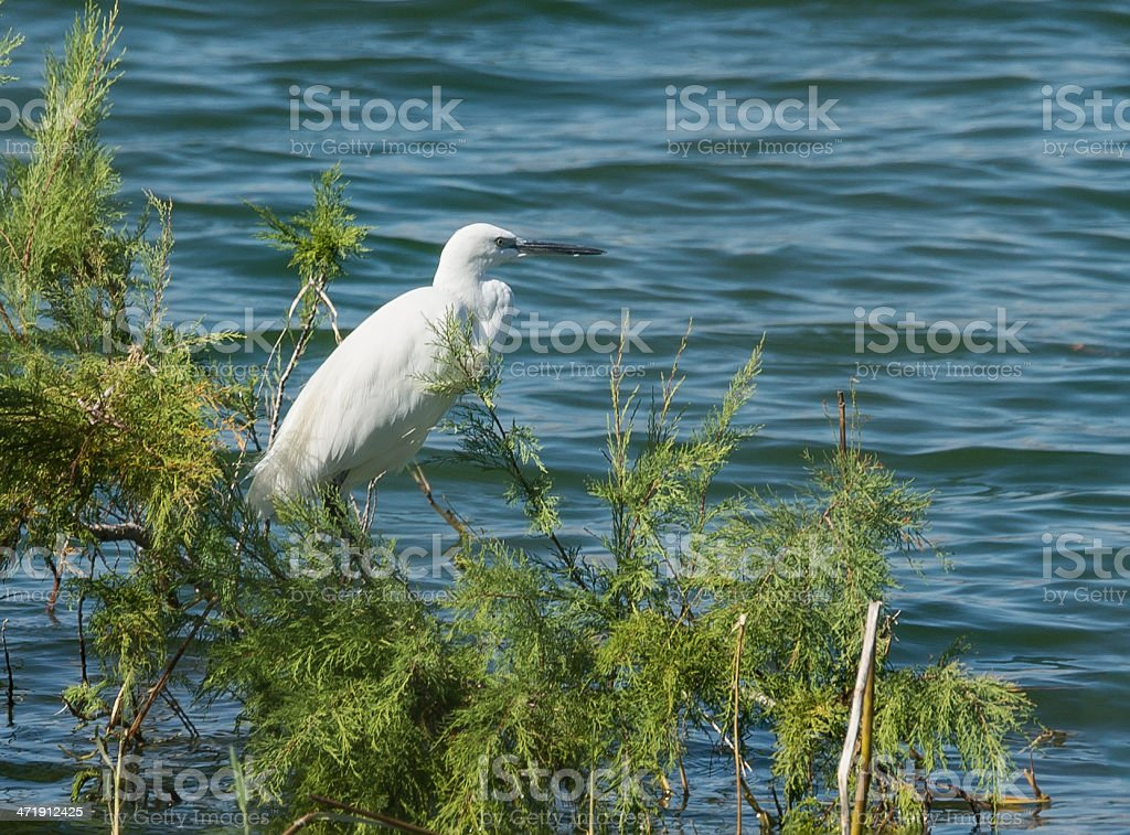 Little Egret royalty-free stock photo