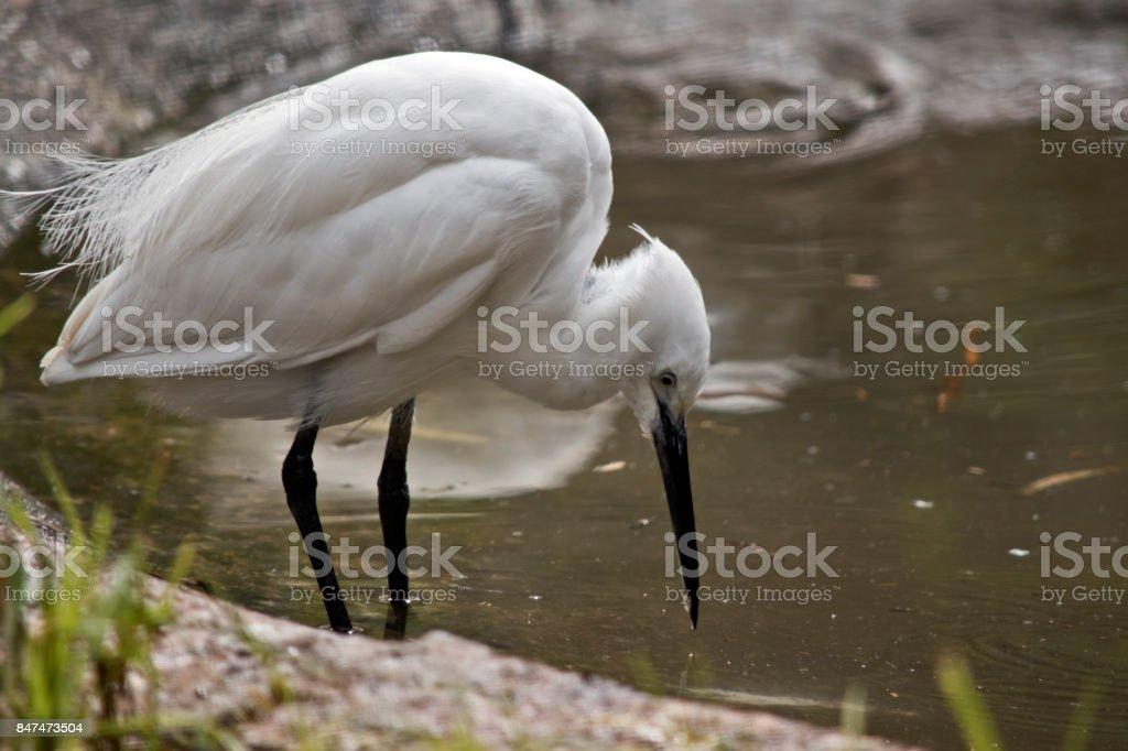 little egret stock photo