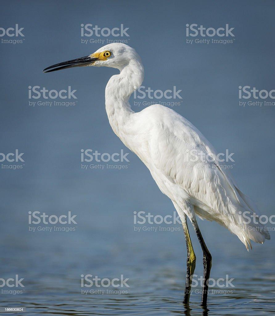 Little egret wading in Jamaica Bay stock photo