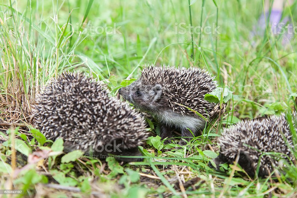 Little family of young hedgehogs stock photo