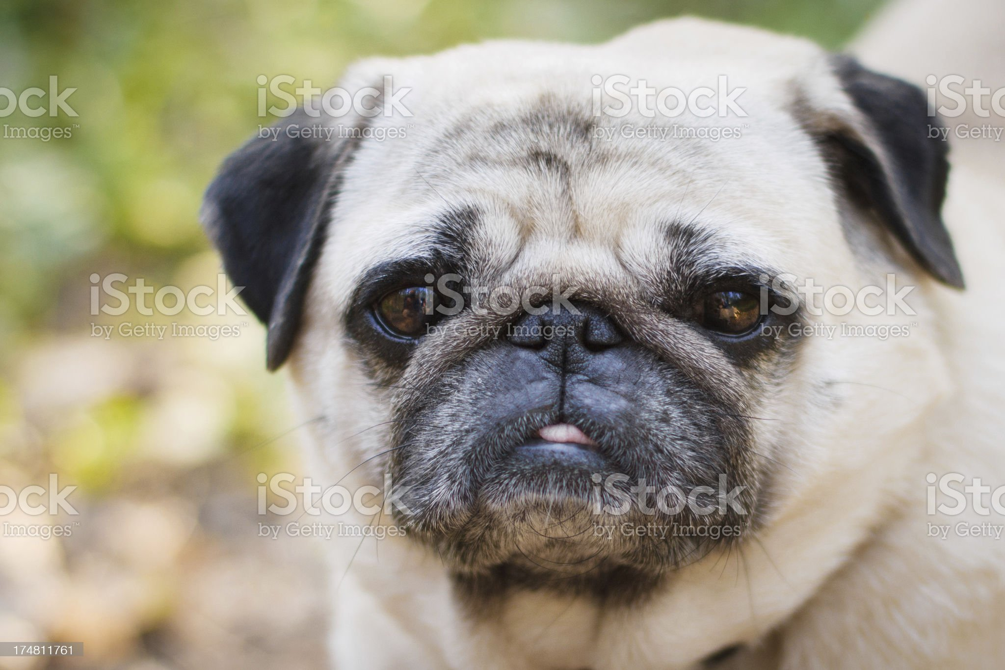 Little fat pug royalty-free stock photo