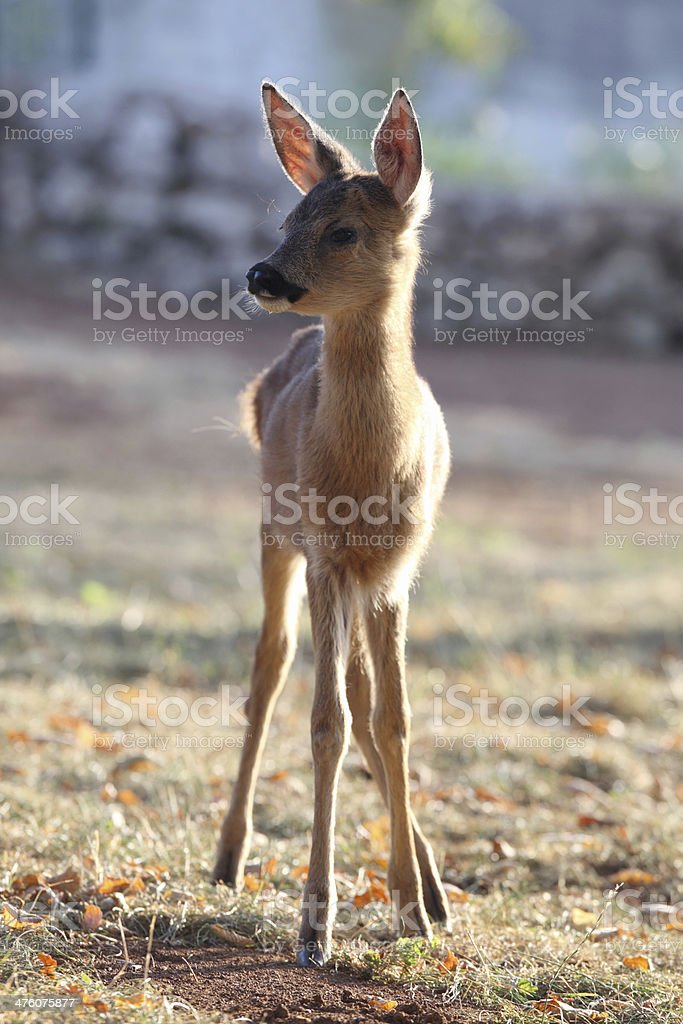 Little fawn in the meadow royalty-free stock photo