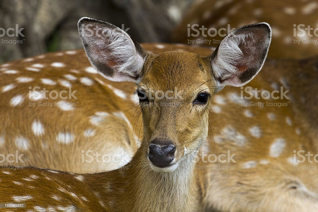 Little fawn royalty-free stock photo