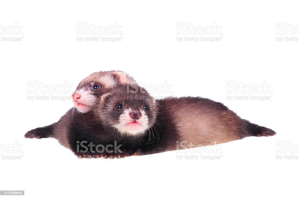 Little ferret babies stock photo