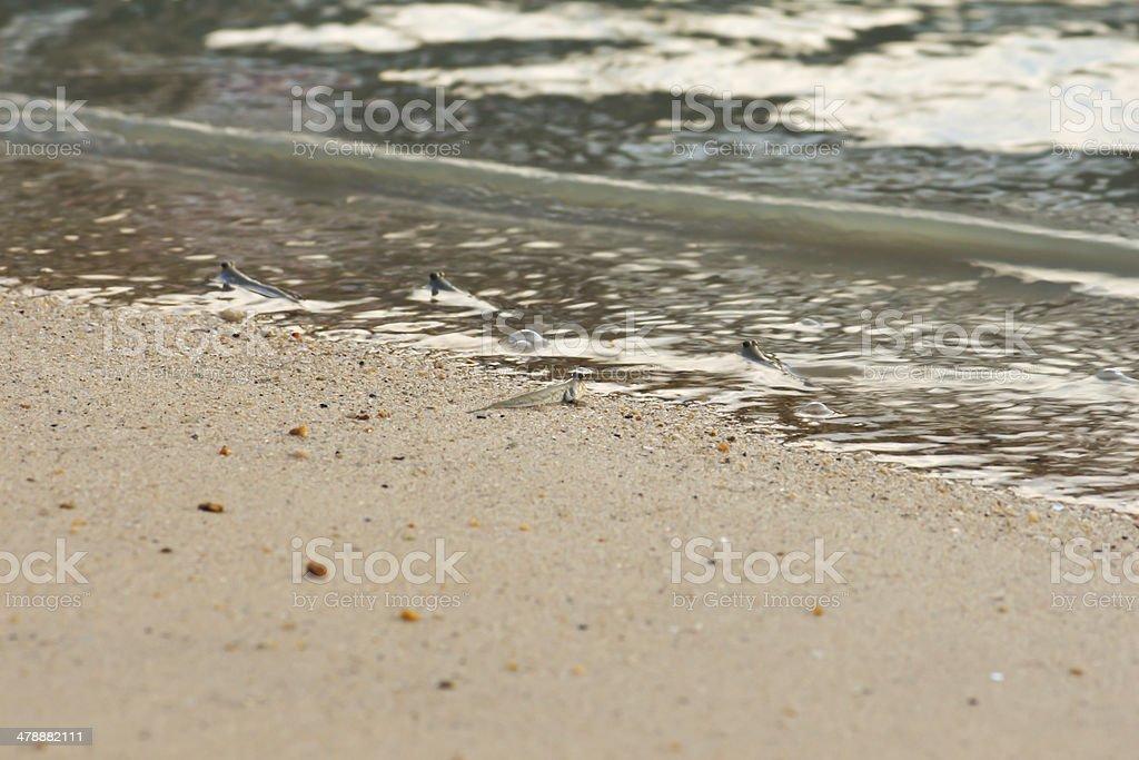 little fish mudskipper or amphibious stock photo