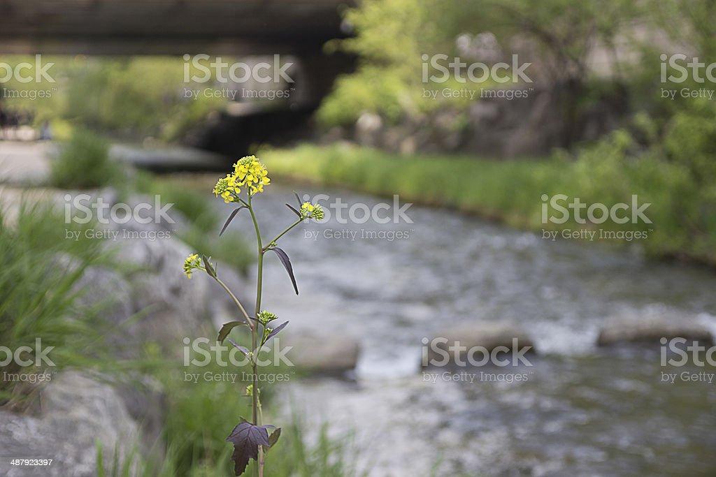 Little Flower at CheongGyeCheon Stream. stock photo
