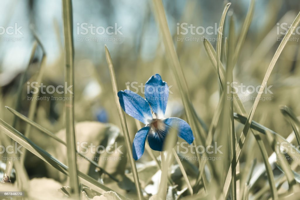 little flower violet in the grass stock photo