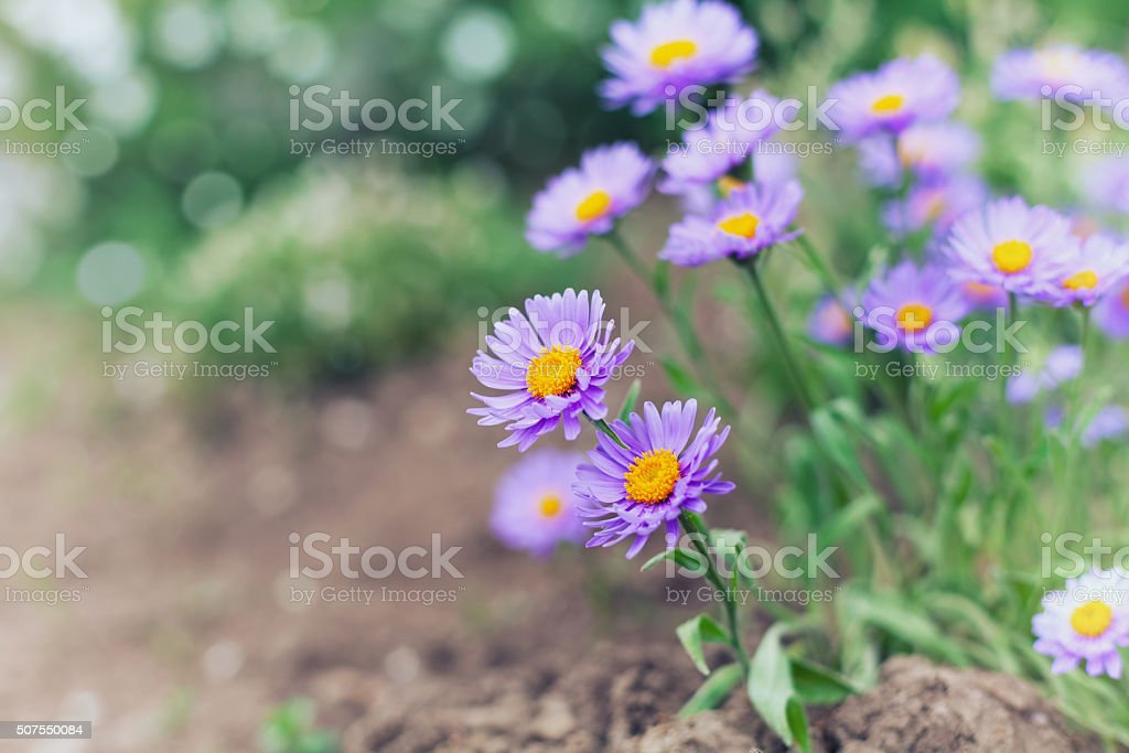 Little flowers of asters on the lawn with bokeh stock photo