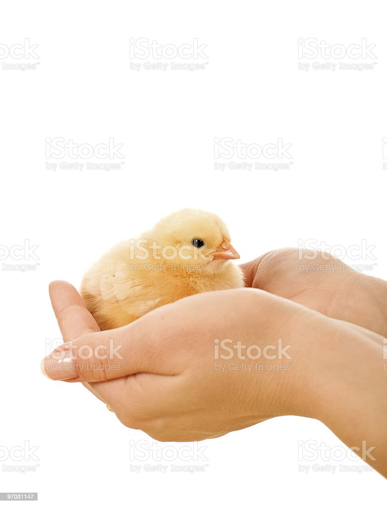 Little fluffy chicken held in woman hands royalty-free stock photo