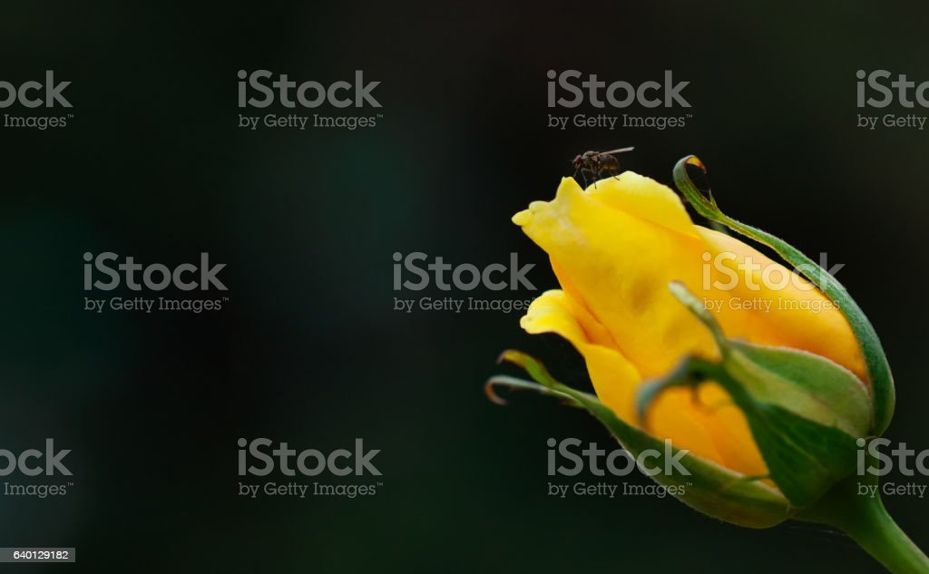 Little Fly Resting on Edge of Delicate Yellow Rose Bud stock photo