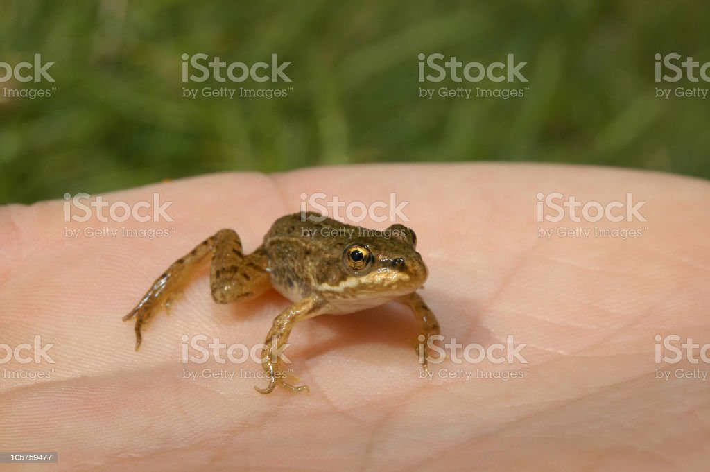 Little Frog on a hand stock photo