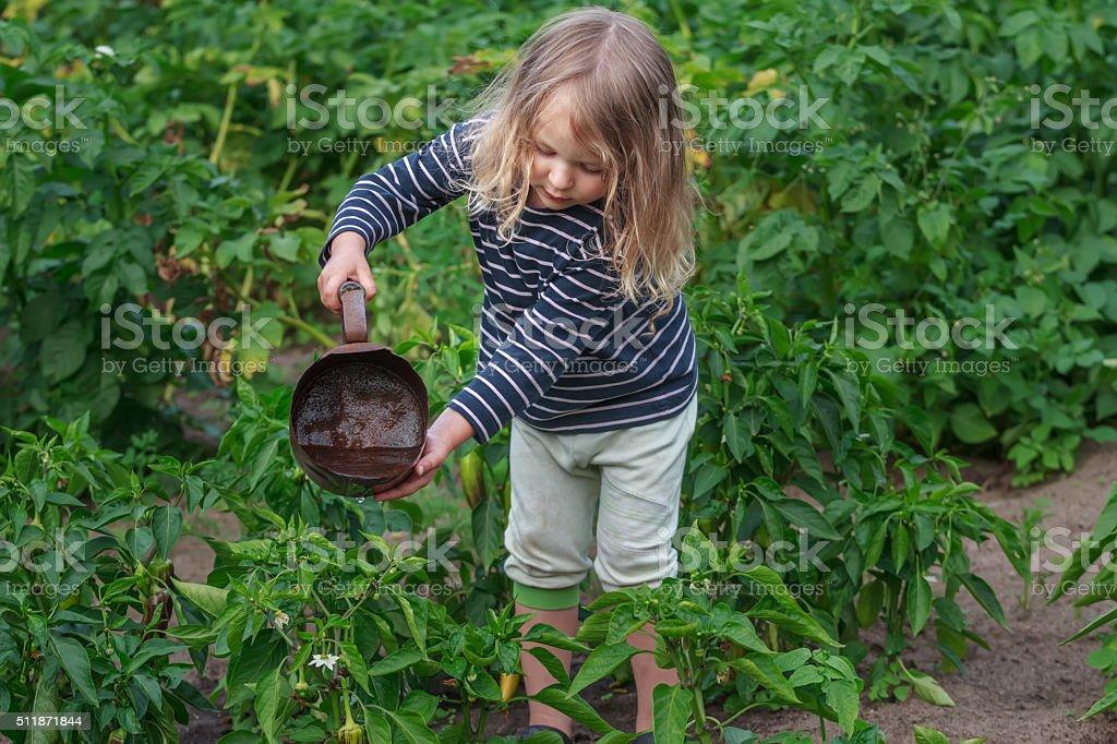 Little gardener girl at summer watering vegetables work stock photo