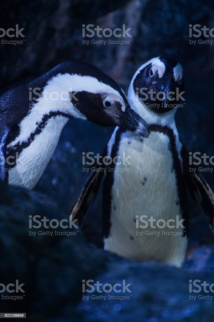 little gentoo penguins stock photo