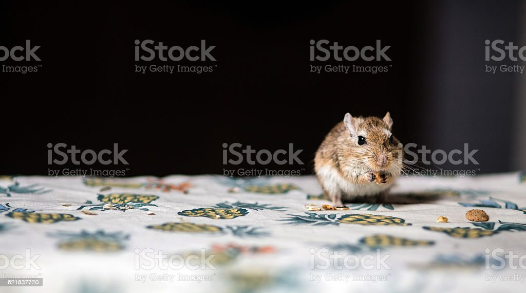 Little gerbil mouse eat seeds and grains on the table stock photo