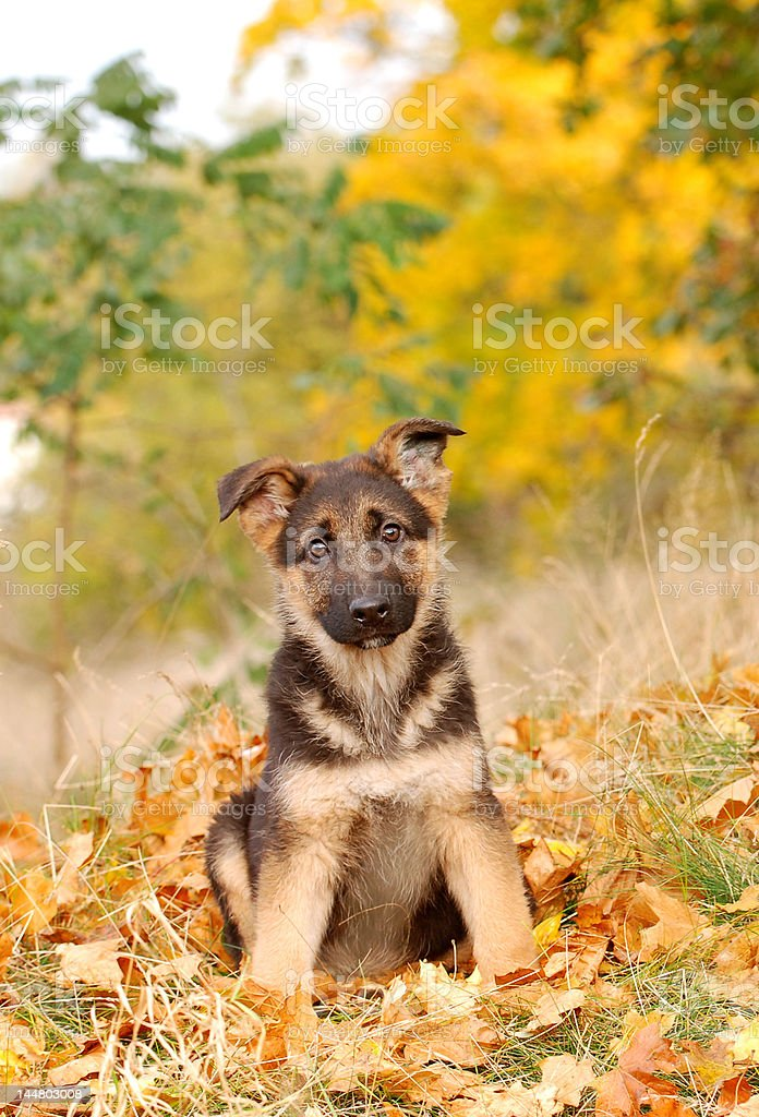 Little German Shephard dog puppy royalty-free stock photo