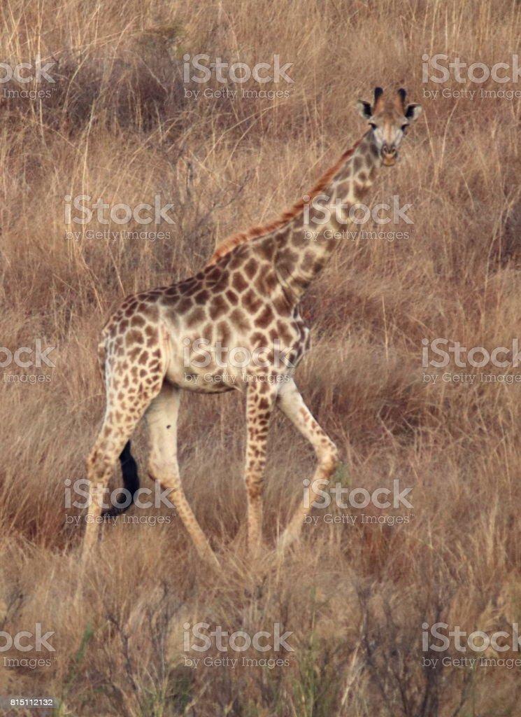 Little Giraffe Takes a Walk stock photo
