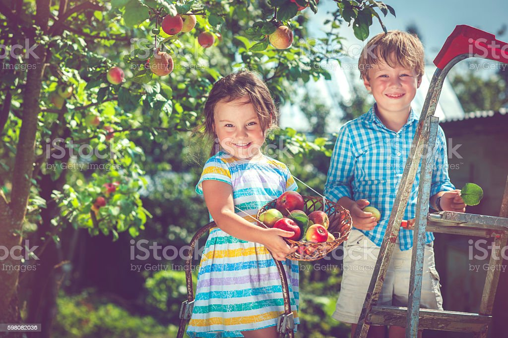 Little girl and boy picking apples from a tree stock photo