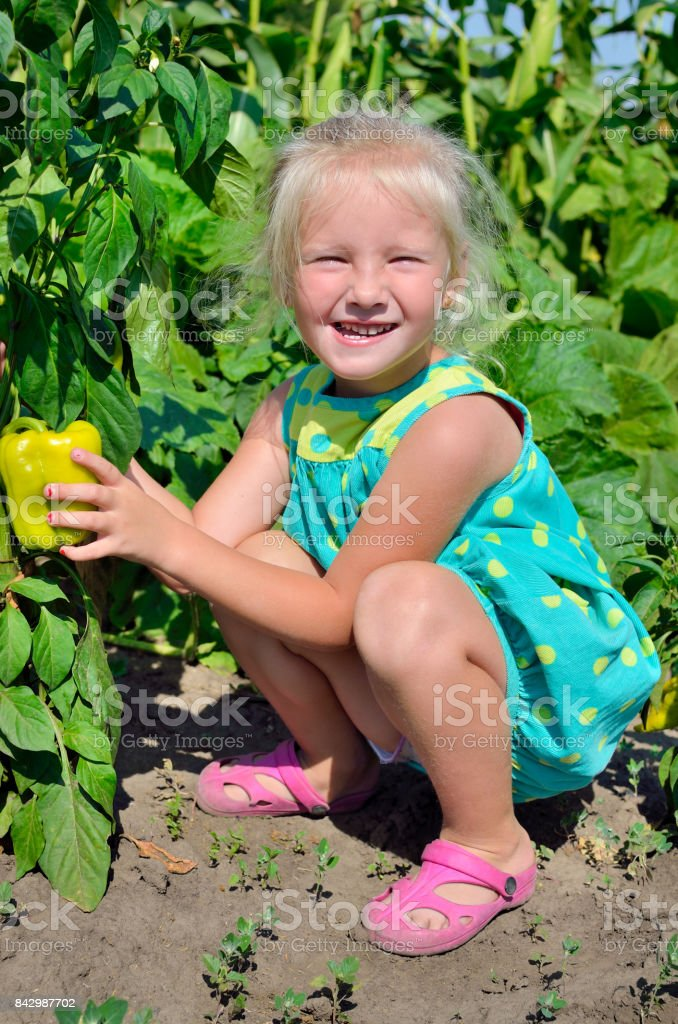 A little girl collects a crop of pepper on the kitchen-garden stock photo