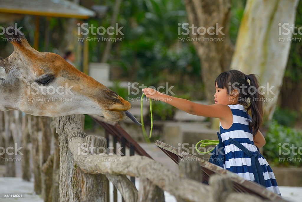 Little girl feeding a giraffe at the zoo . stock photo