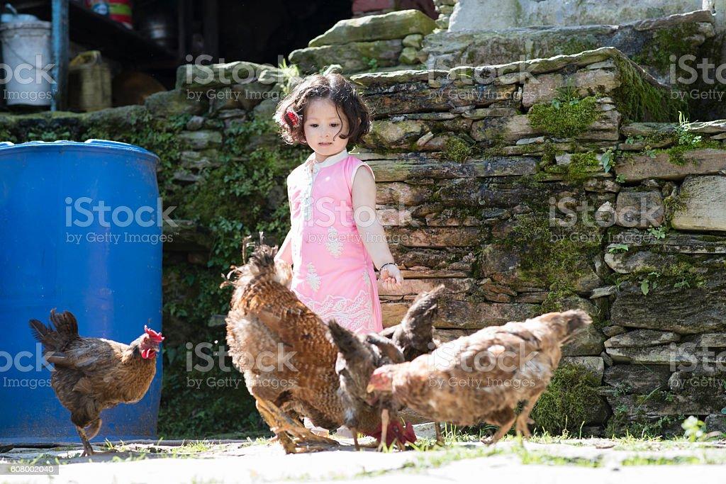 Little girl feeding chicken. stock photo