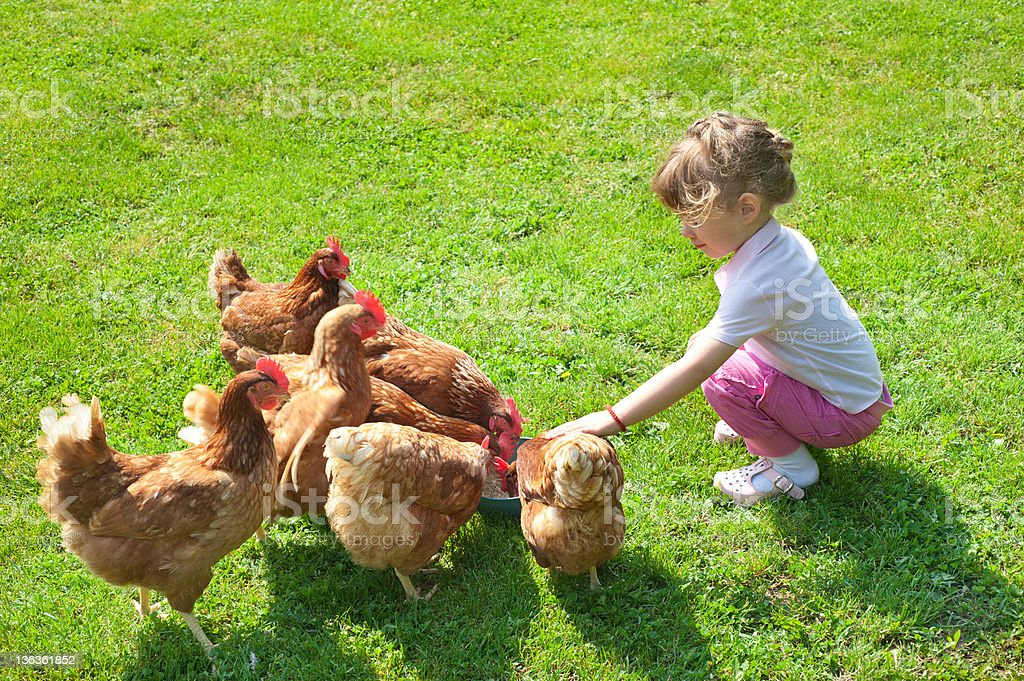 Little girl feeding chickens in the field stock photo