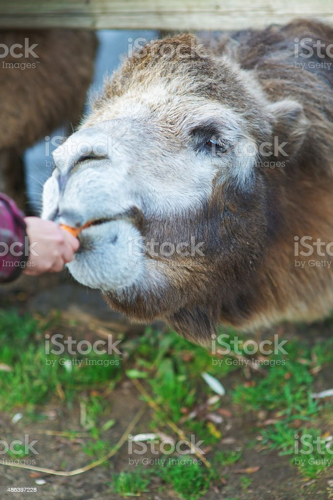 little girl feeding two-humped camel stock photo
