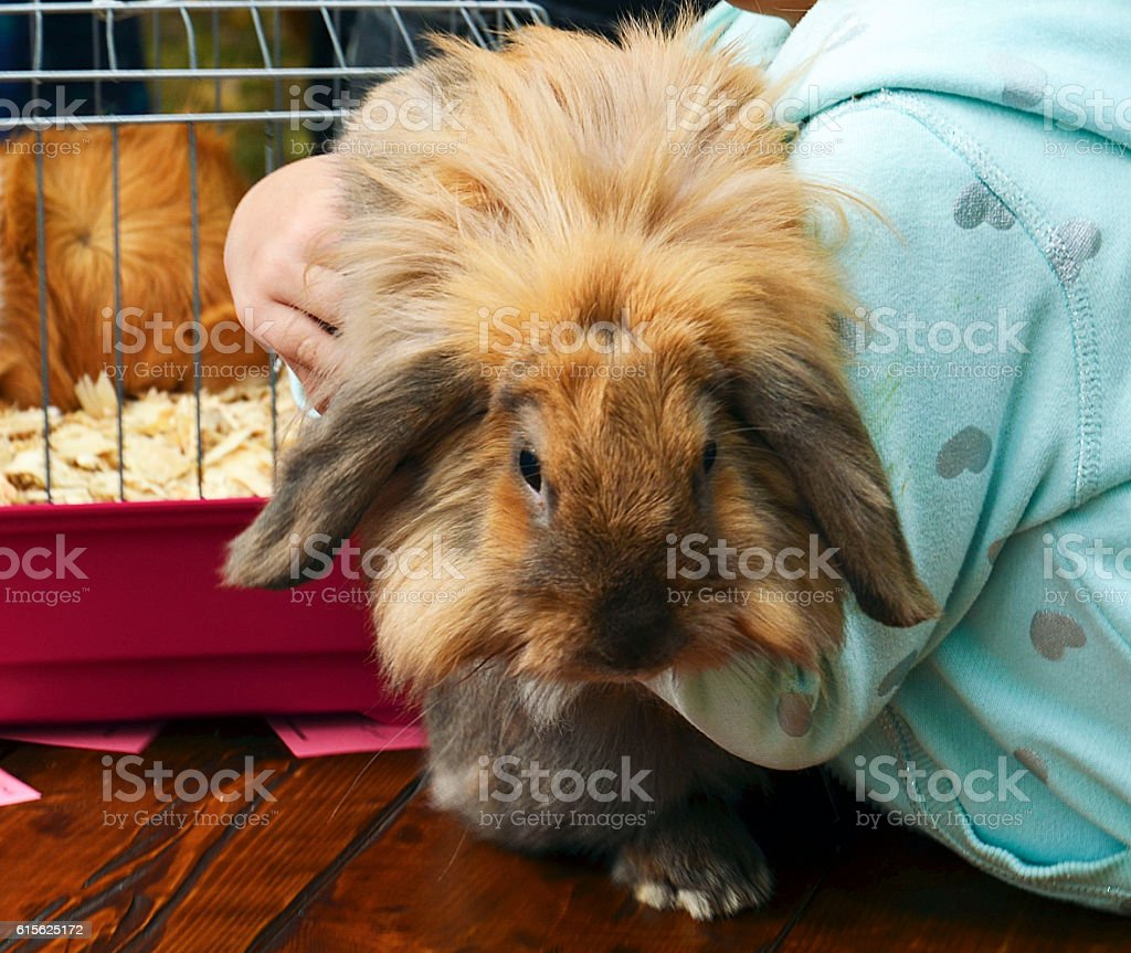 Little girl holding a cute lop-eared rabbit. stock photo