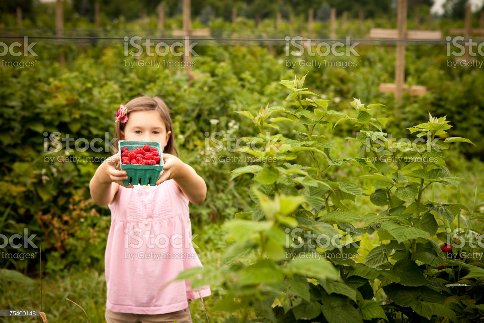 Little Girl Holding Up Carton of Raspberries She Picked royalty-free stock photo