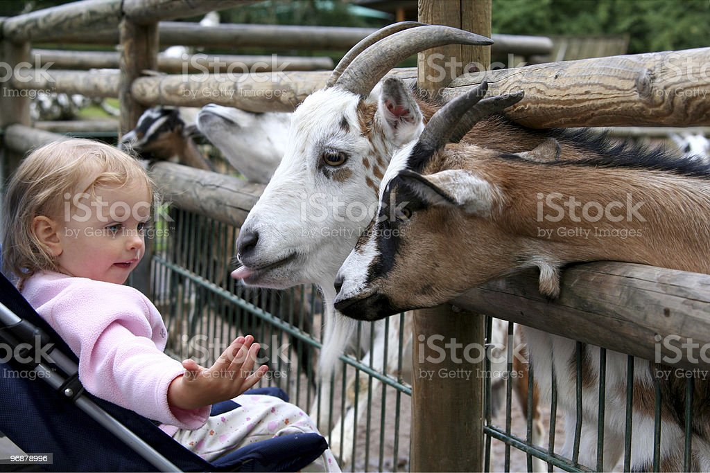 Little girl in stroller playing with goats at the zoo royalty-free stock photo