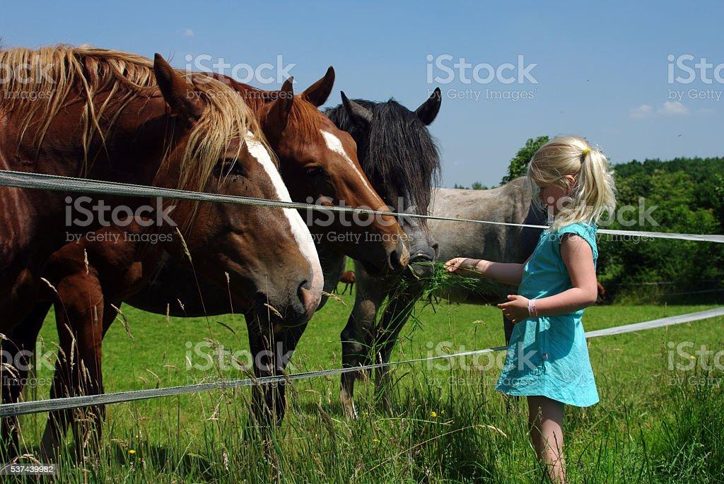 Little girl is feeding the horses stock photo
