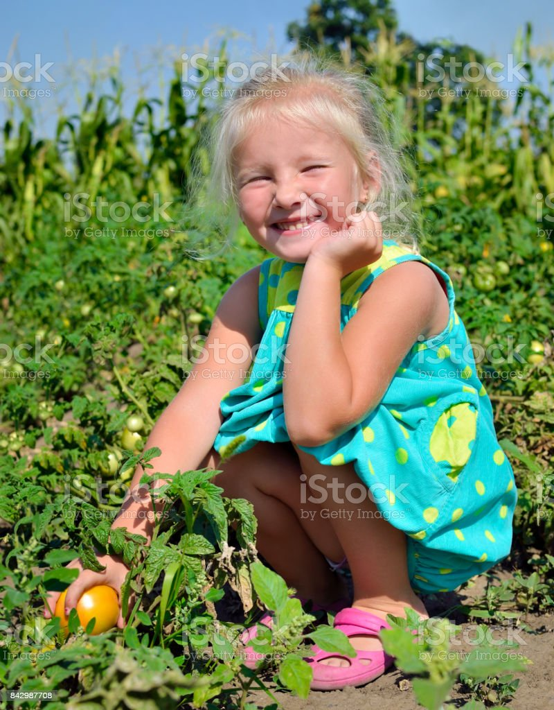 A little girl is harvesting tomatoes on a kitchen-garden stock photo