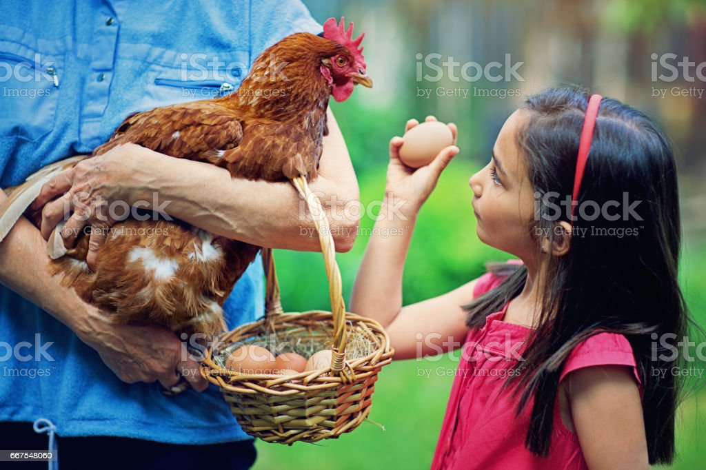 Little girl is showing egg to hen in her grandmother`s hands stock photo