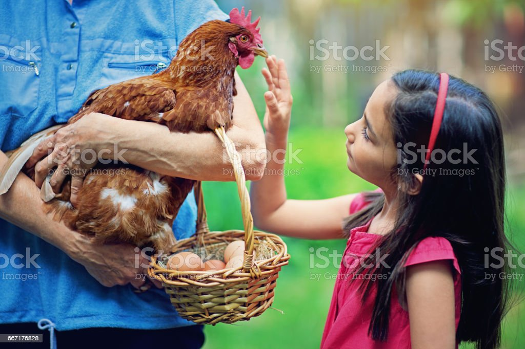 Little girl is touching hen in her grandmother`s hands stock photo