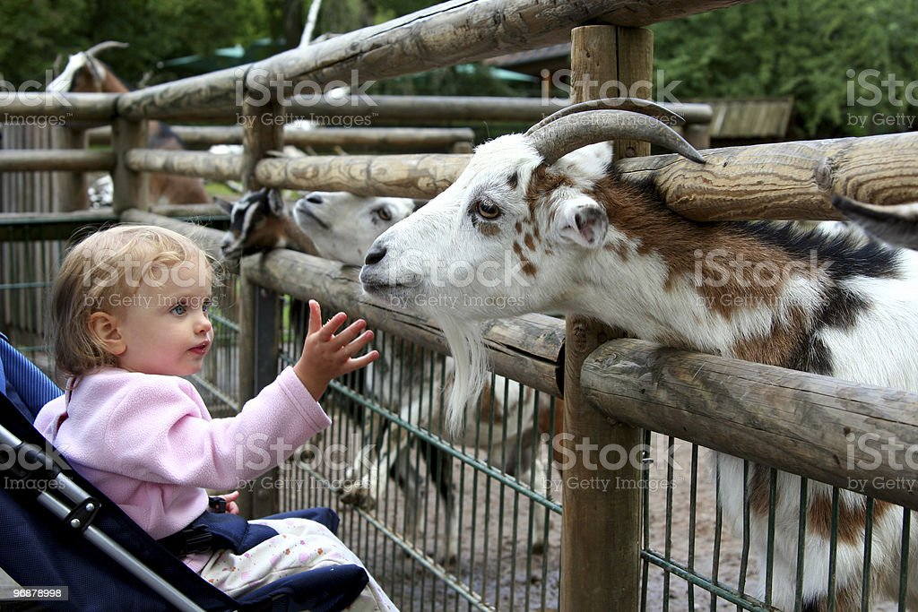 A little girl petting a goat at the zoo stock photo