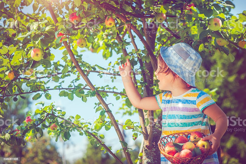 Little girl picking apples from a tree stock photo